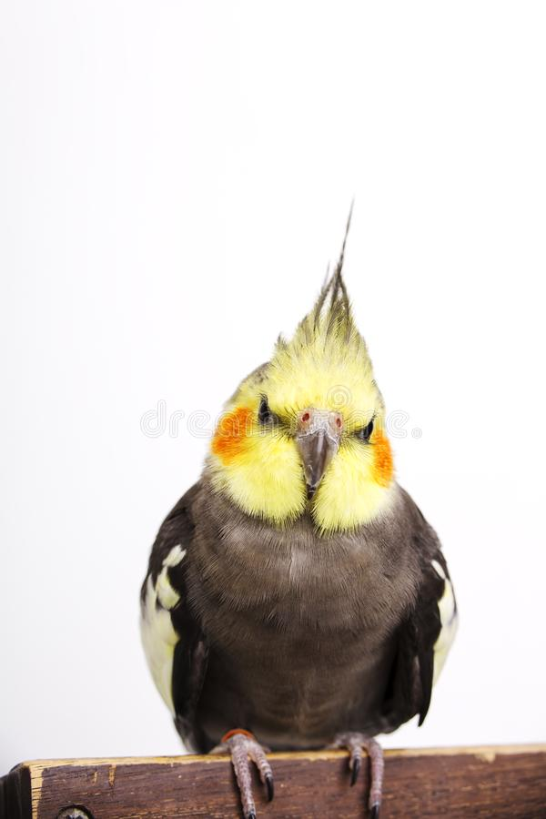 a grey cockatiel Nymphicus hollandicus in front of white background royalty free stock photography