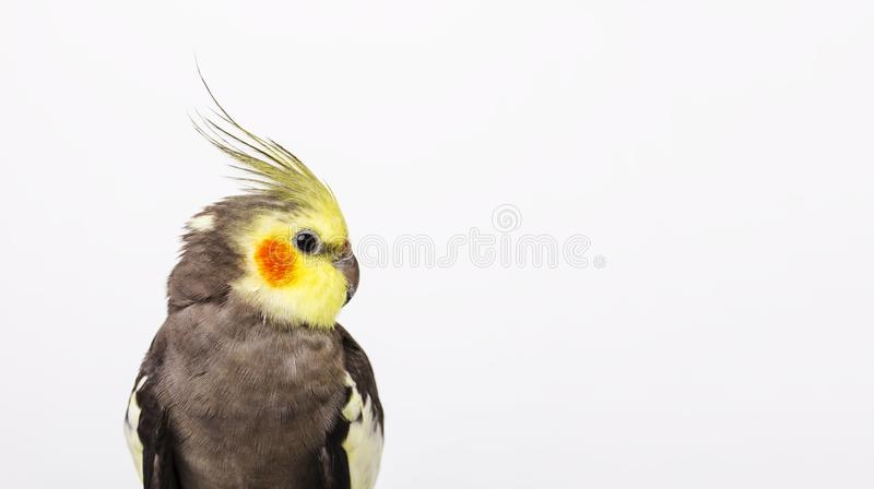 a grey cockatiel Nymphicus hollandicus in front of white background royalty free stock image