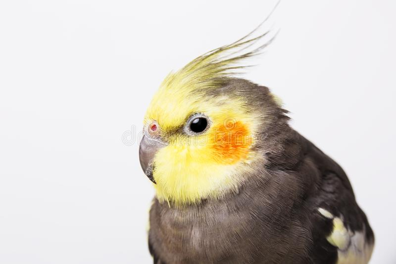 a grey cockatiel Nymphicus hollandicus in front of white background stock images