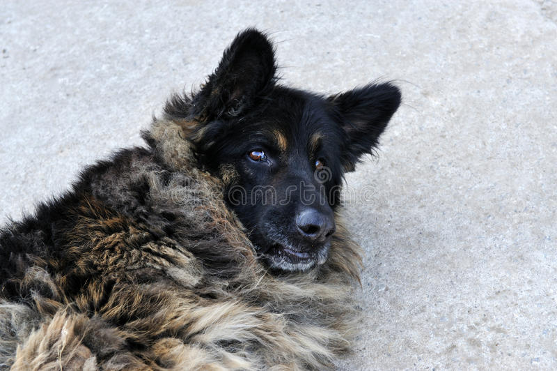 A portrait of a grey germany shepherd dog.