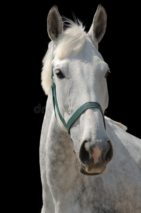 Download A Portrait Of Grey Horse Isolated On Black Stock Photo - Image: 9551530