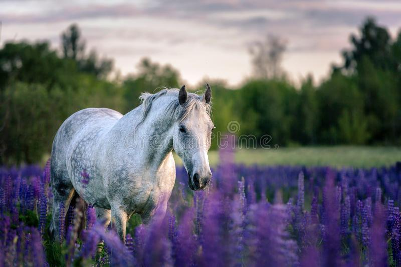 Portrait of a grey horse among lupine flowers. royalty free stock photography