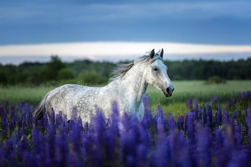 Portrait of a grey horse among lupine flowers. royalty free stock images