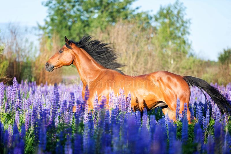 Portrait of a grey horse among lupine flowers. stock images