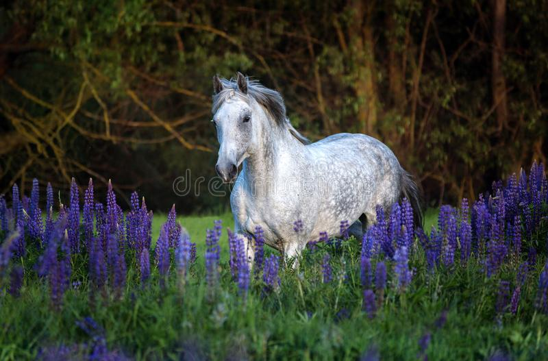 Portrait of a grey horse among lupine flowers. stock photo