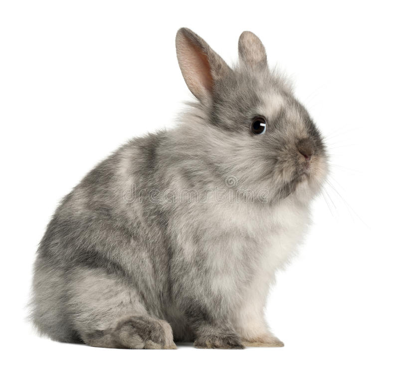 Download Portrait Of A Grey Rabbit Sitting Stock Photo - Image of looking, shot: 24709108