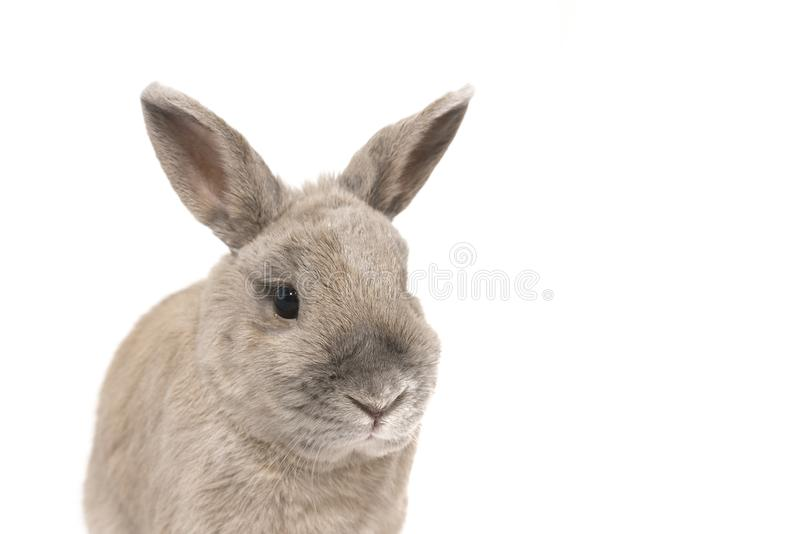 Portrait of a grey rabbit with splayed ears isolated on white background stock photography