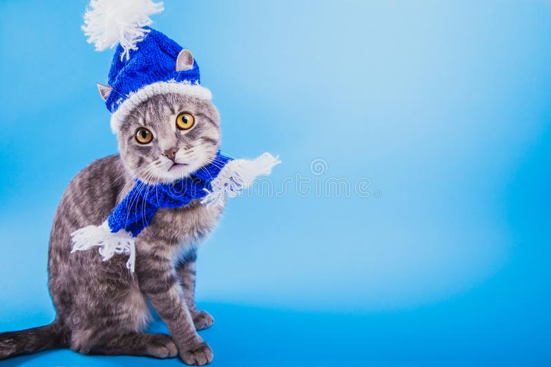 Grey tabby cat wearing blue New year hat with scarf on blue background. Portrait of a grey tabby cat wearing blue New year hat with scarf on blue background royalty free stock photos