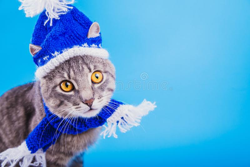 Grey tabby cat wearing blue New year hat with scarf on blue background. Portrait of a grey tabby cat wearing blue New year hat with scarf on blue background royalty free stock image