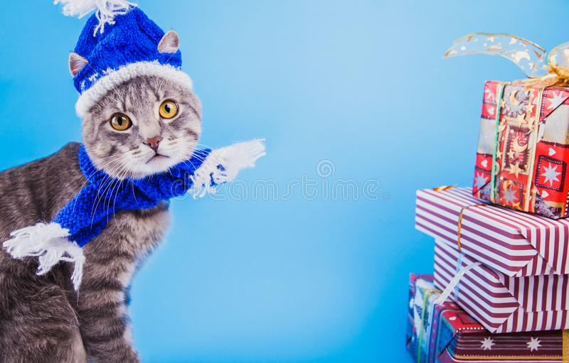 Grey tabby cat wearing blue New year hat with scarf and surrounded with gift boxes on blue background. Portrait of a grey tabby cat wearing blue New year hat royalty free stock photography