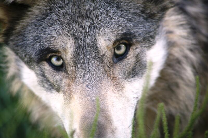 Portrait of grey wolf stock images