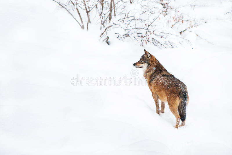 Portrait grey wolf in the snow stock images