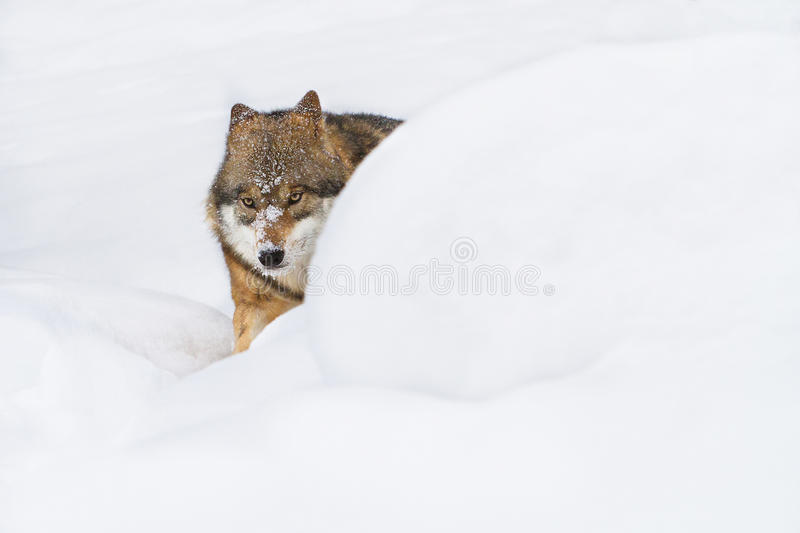 Portrait grey wolf in the snow royalty free stock photography