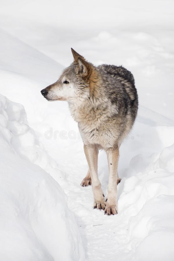 Portrait of grey wolf standing in deep winter snow stock photo
