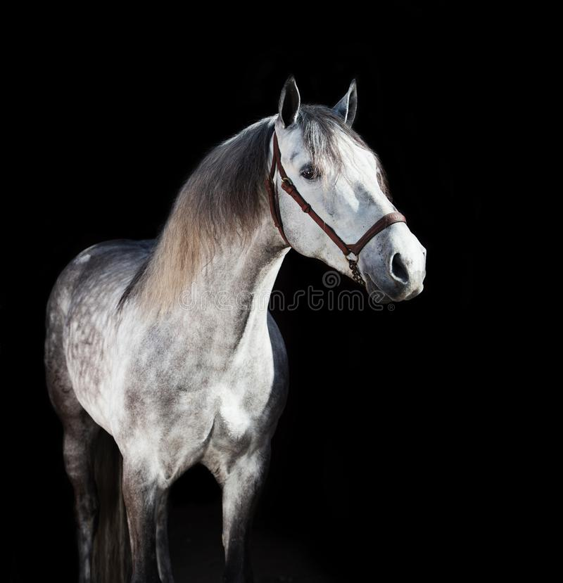 Portrait of grey young Andalusian stallion at black background stock photography