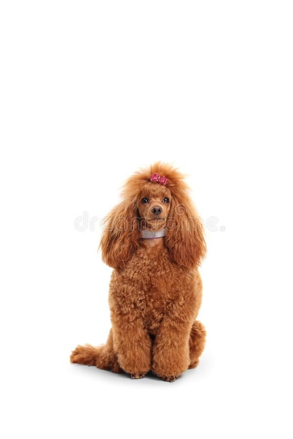 Groomed red poodle with a sparkly collar and a bow on her head royalty free stock photos