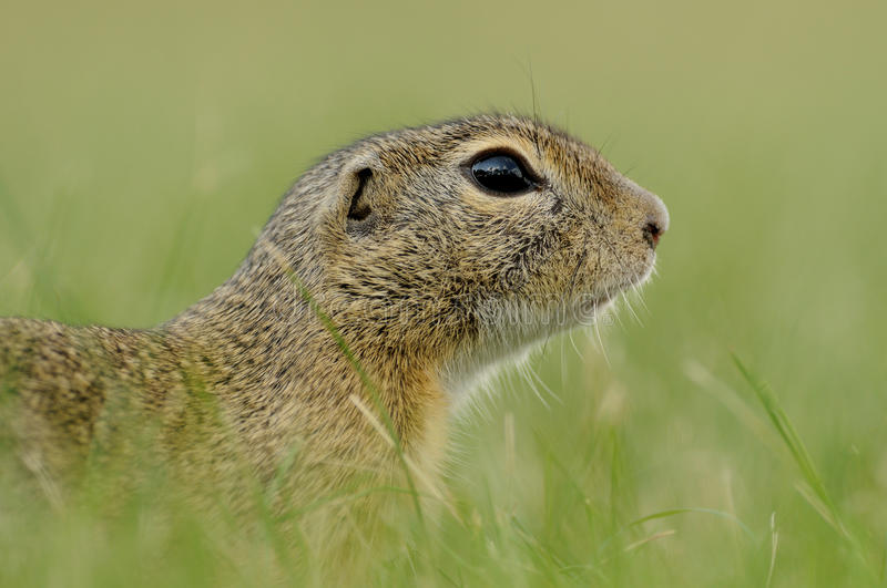 Portrait of a Ground Squirrel. This little squirrel is running in the grass. You can also call it european souslik royalty free stock photos