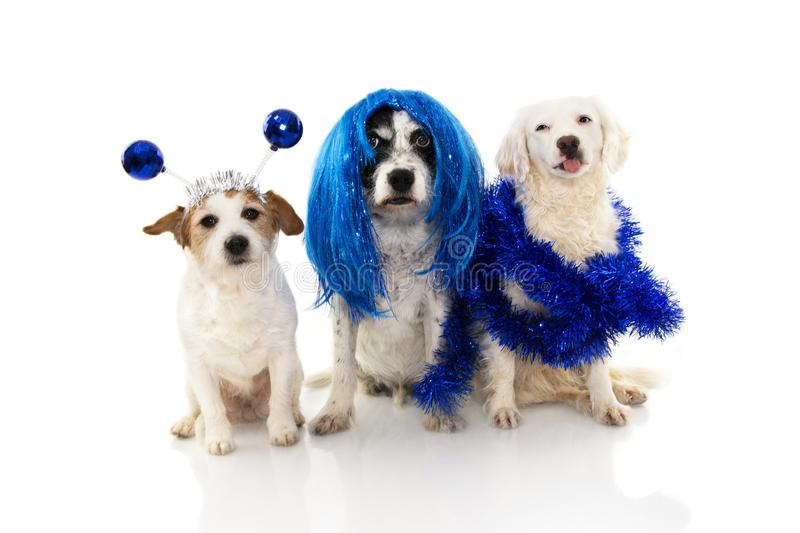 PORTRAIT OF GROUP OS THREE DOGS CELEBRATING NEW YEAR OR CARNIVAL COSTUME PARTY, WEARING BLUE WIG, GARLAND AND ALIEN DISCO BALL. BOPPERS HEADBAND. ISOLATED ON stock photography