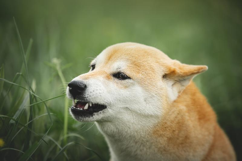 Portrait of growling shiba inu dog in the green grass. Red japanese dog breed shiba inu. Portrait of roaring shiba inu dog in the green grass. Red japanese dog royalty free stock photo