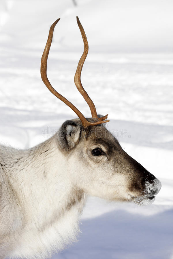 Download Close Up Of A Reindeer / Rangifer Tarandus In Winter Stock Image - Image: 29742307