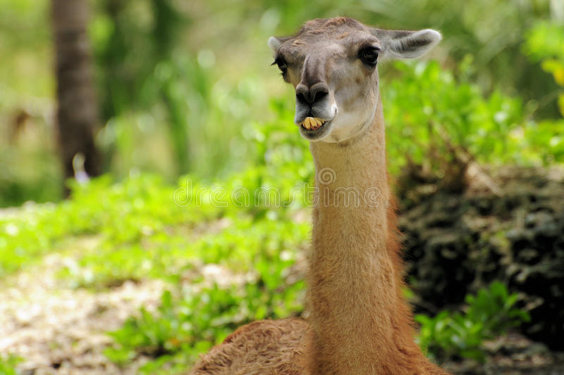 Download Portrait Of A Guanaco Stock Images - Image: 20835104