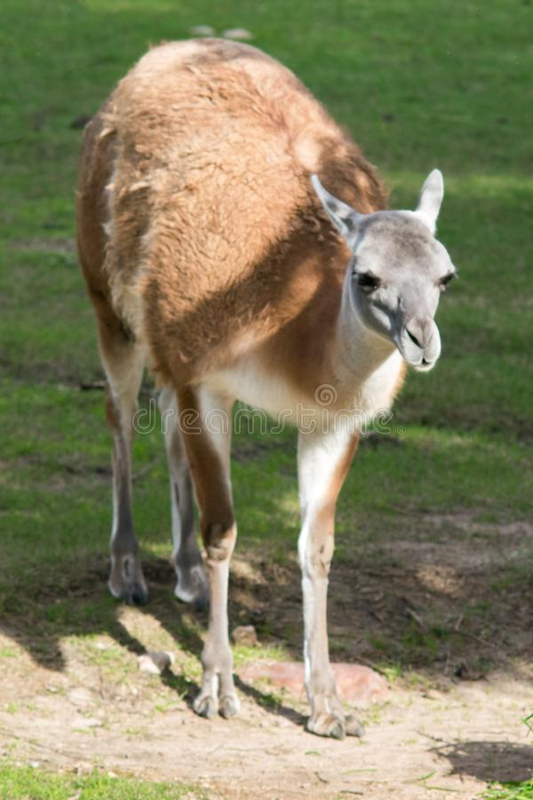 Guanaco. Portrait of a guanaco & x28;Lama guanicoe& x29;, a camelid native to South America royalty free stock photography