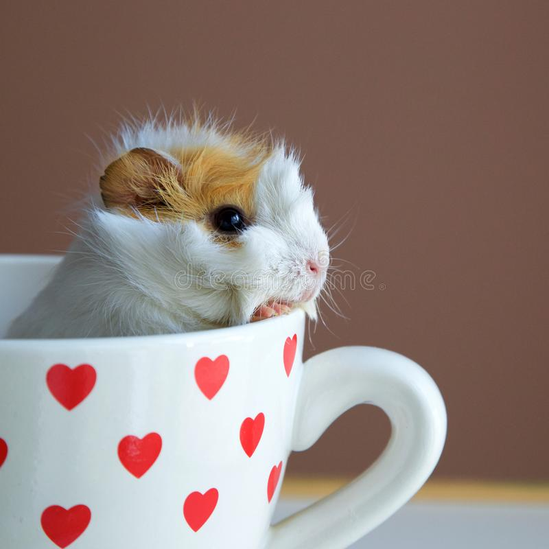 Portrait of guinea pig into the cup royalty free stock photography