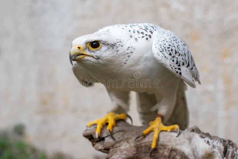 Portrait of a Gyr Falcon, Falco rusticolus, sitting on a stick.  stock photography