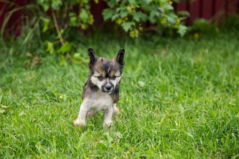 Portrait of hairless lovely puppy breed chinese crested dog standing in the green grass on summer day. Portrait of sweet hairless puppy breed chinese crested stock image