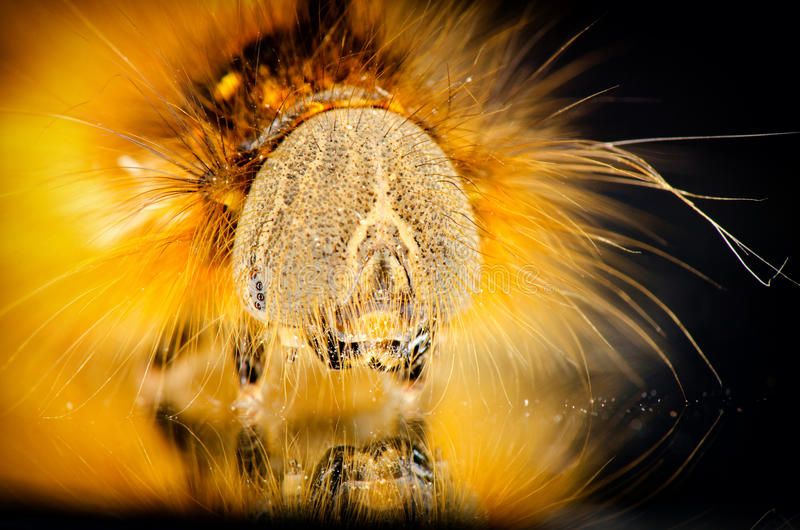 Portrait of hairy caterpillar royalty free stock photo
