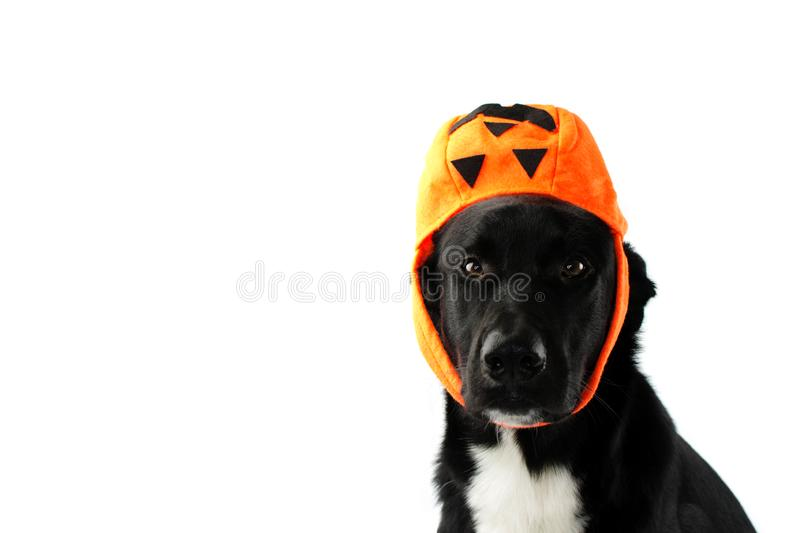 PORTRAIT HALLOWEEN DOG. BLACK PUPPY WEARING LIKE HAT A CANDY BAG PUMPIN. FUNNY TRICK OR TREAT stock images