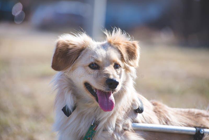 Portrait handicapé de chien image stock