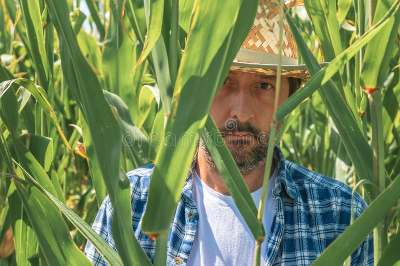 Portrait of handsome corn farmer in cultivated maize field stock photography