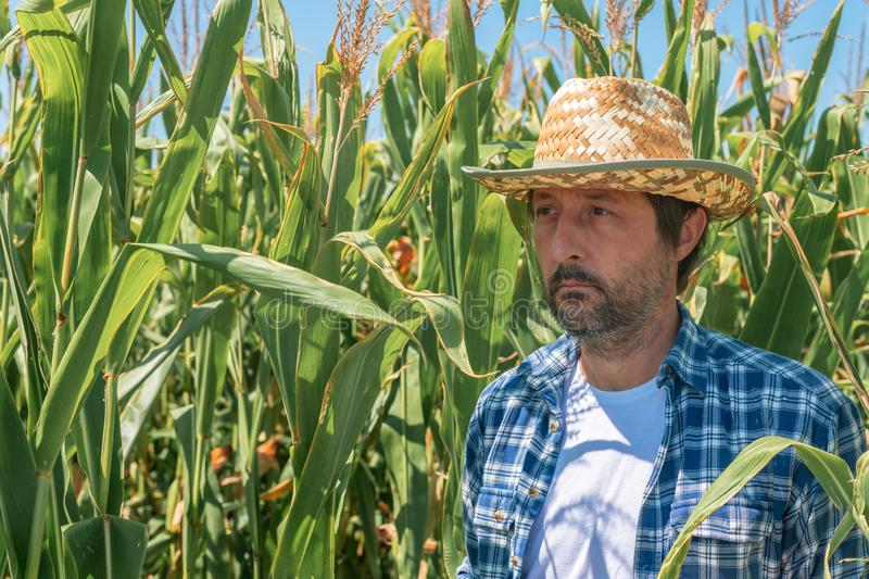 Portrait of handsome corn farmer in cultivated maize field royalty free stock photos
