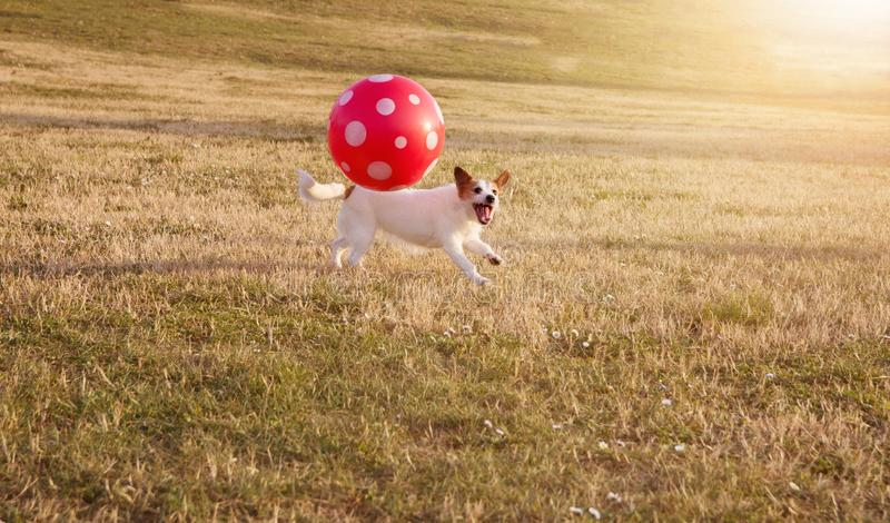 PORTRAIT HAPPY AND ACTIVE JACK RUSSELL DOG PLAYING FUTBOL WITH A RED BIG BALL ON DEFOCUSED GRASS PARK royalty free stock images