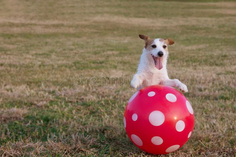 PORTRAIT HAPPY AND ACTIVE JACK RUSSELL DOG PLAYING WITH A RED BIG BALL ON DEFOCUSED GREEN GRASS PARK.  stock photos