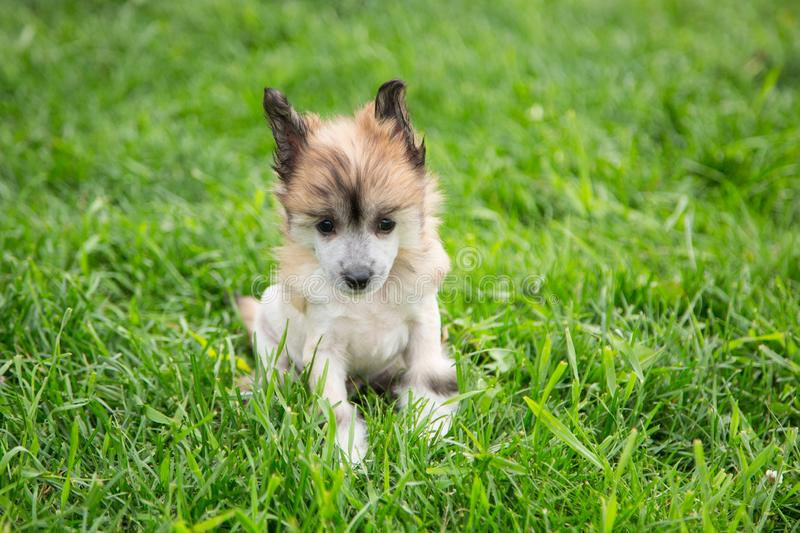 Portrait of amber hairless puppy breed chinese crested dog sitting in the green grass on summer day. Portrait of happy amber hairless puppy breed chinese royalty free stock photos