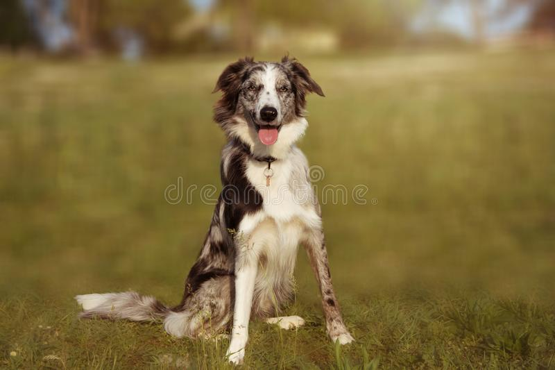 PORTRAIT HAPPY BORDER COLLIE SCOTTISH ON NATURAL GREEN GRASS AT PARK stock photos
