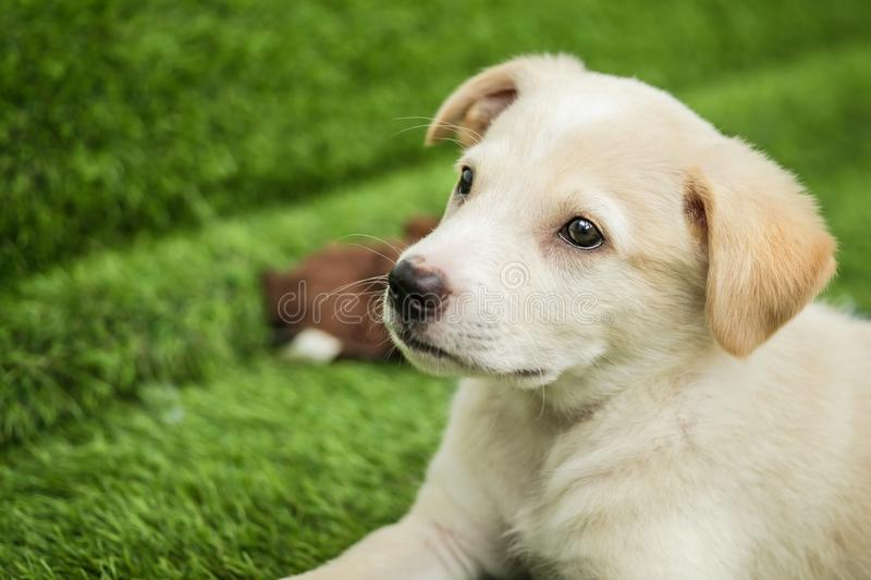 Portrait of Happy brown cute Labrador Retriever puppy. With foliage bokeh background. Head shot of smile dog with colorful spring leaf stock photo