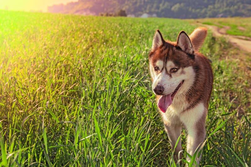 Portrait happy brown siberian husky dog standing on sunny green meadow. stock photos