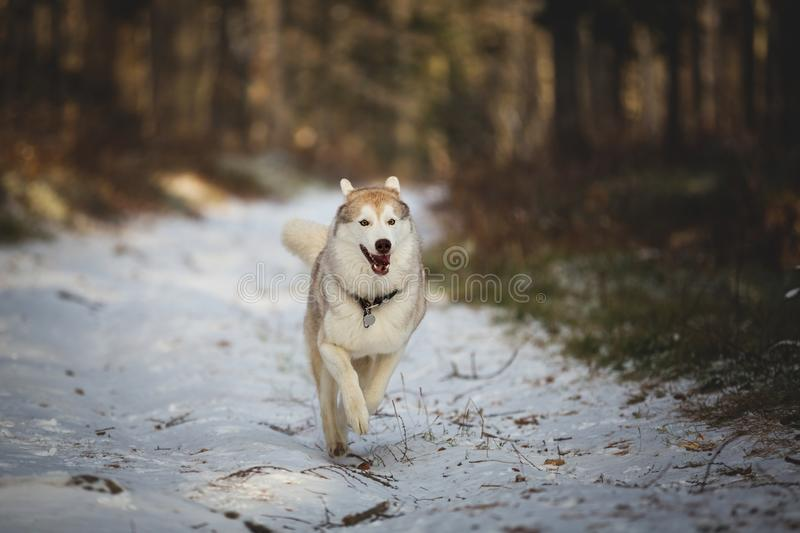 Portrait of happy and cute siberian husky dog running in the winter forest on the first snow and has fun stock images