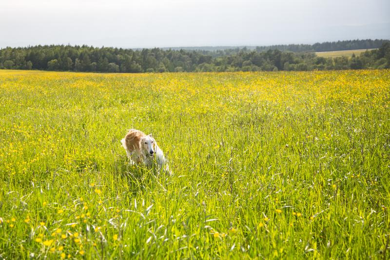 Portrait of happy dog breed russian borzoi running in the green grass and yellow buttercup field in summer at sunset. Portrait of happy dog breed russian borzoi royalty free stock image