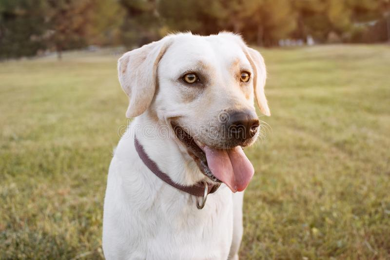 PORTRAIT HAPPY DOG. LABRADOR PUPPY ON GREEN GRASS WITH SUNSET LIGHT royalty free stock photos