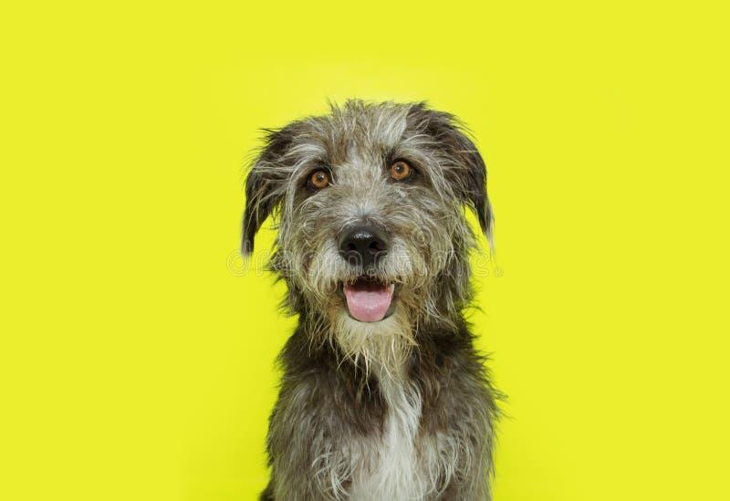 Portrait happy dog smiling. Isolated on yellow background stock photo