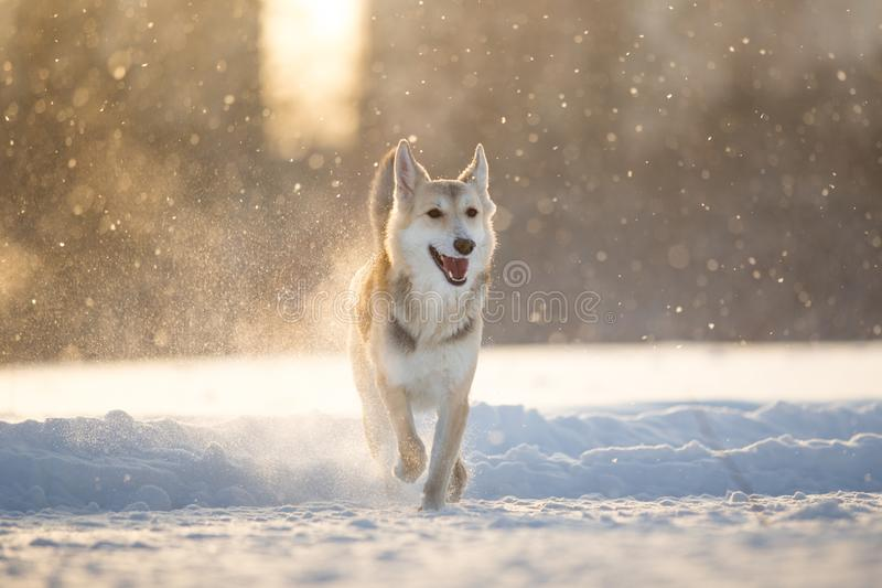 Portrait of a happy mongrel dog walking at meadow in winter in sunset royalty free stock photo