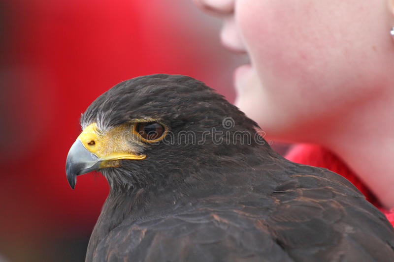 Portrait of Harris hawk with girl stock photography