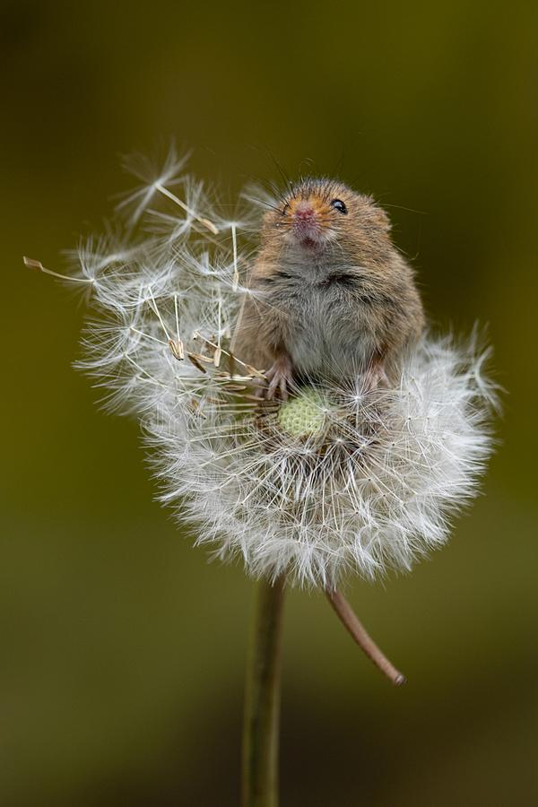Portrait of a harvest mouse on a dandelion clock. A harvest mouse balancing on a dandelion clock. The mouse is reaching up and has its snout in the air royalty free stock photo