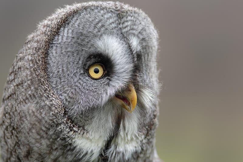 Portrait haut étroit d'un grand hibou gris photographie stock