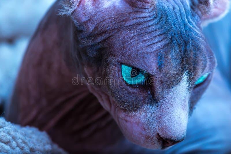 Portrait haut étroit de chat de Sphynx de Canadien image stock