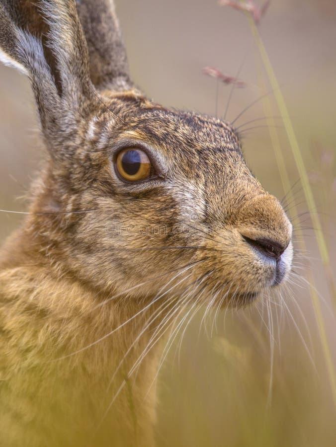 Portrait haut étroit des lièvres européens vigilants dans l'herbe photos stock